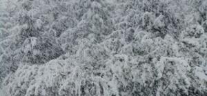 5. Spruce Pine Winter Katonah, NY